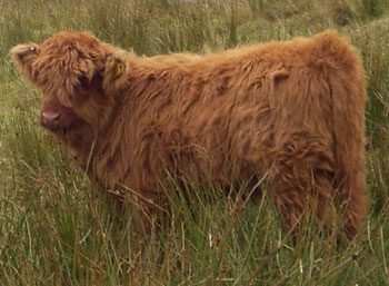 Highland Calf in Uig